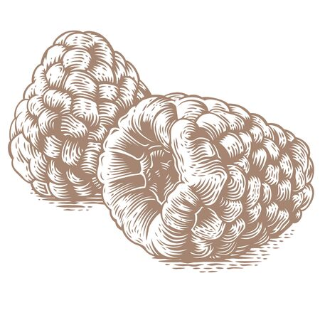 gravure: Drawing of two raspberries on the white background