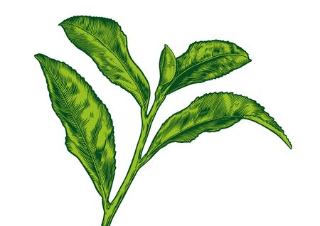 gravure: Drawing of tea branch on the white background Stock Photo