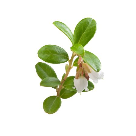 cowberry: Isolated blooming branch of cowberry on the white