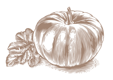 gravure: Drawing of whole pumpkin with leaf on the white background
