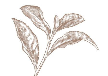 gravure: Drawing of tea branch on the white background Archivio Fotografico