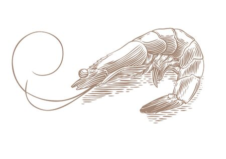whole creature: Drawing of isolated shrimp on the white background