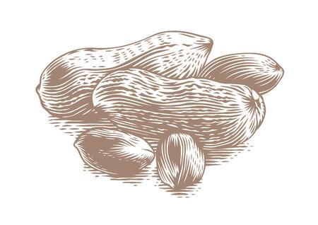 avuç: Handful of peanuts kernelds with shelled peanuts on the white Çizim