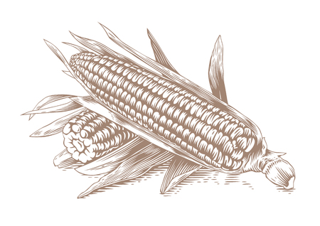 Drawing of two corn-cobs with leaves on the white background