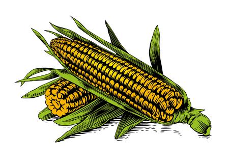 gravure: Disegno di due pannocchie con foglie su sfondo bianco Vettoriali