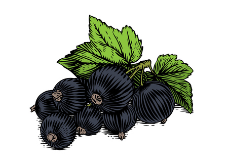 gravure: Drawing of black currant berries with fresh leaves