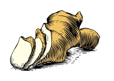 jengibre: Dibujo de la raíz de jengibre en el fondo blanco
