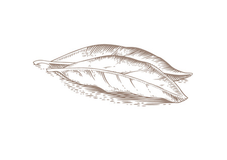 gravure: Drawing of two bay leaves on the white background