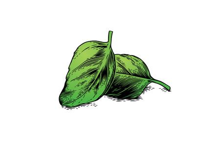 basilio: Dibujo de dos hojas de albahaca en el blanco