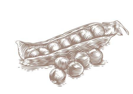 pea pod: Drawing of fresh pea pod with peas on the white Illustration