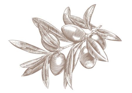 いくつかのオリーブの葉とオリーブの枝の描画