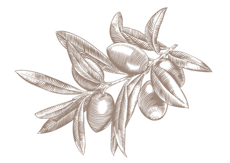 Drawing of olive branch with some olives and leaves