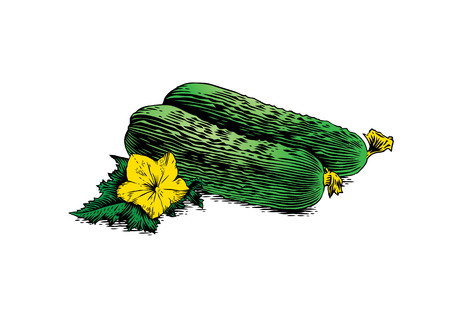 cucumbers: Two fresh cucumbers with flower and leaf on the white background Illustration