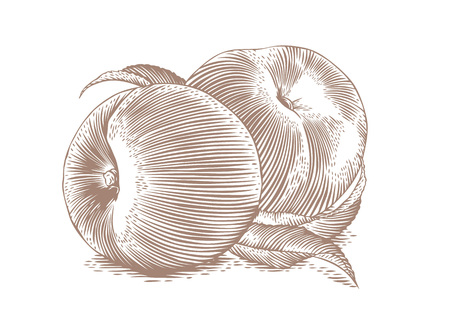 gravure: Drawing of two fresh peaches with leaves