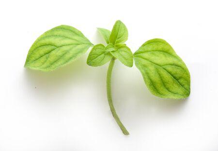 wild marjoram: Fresh green branch of oregano on the white background Stock Photo