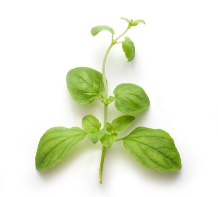 origanum: Fresh green branch of oregano on the white background Stock Photo