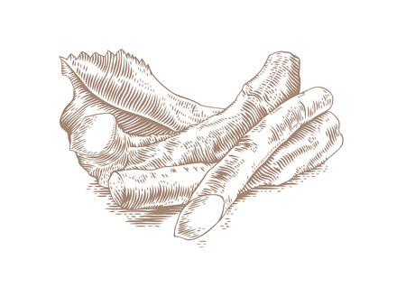 Zeichnung einiger Meerrettich mit dem Blatt Vektorgrafik