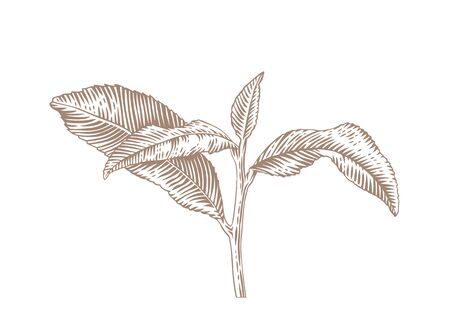 engrave: Drawing of tea branch with leaves on the white background