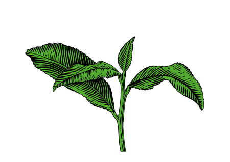 gravure: Drawing of tea branch with leaves on the white background