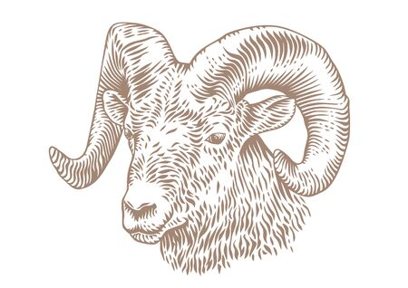 Drawing of horned head of ram on the white background