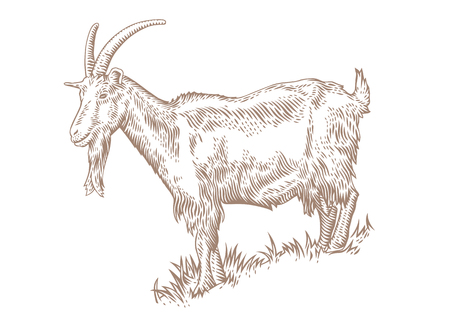 hillside: Drawing of white horned goat on the hillside covered with green grass