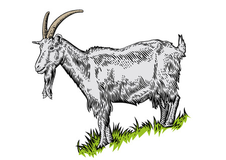 gravure: Drawing of white horned goat on the hillside covered with green grass