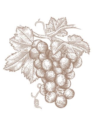 Drawing of a bunch of red grapes with green leaves on vine Stock Illustratie
