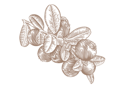 mountain cranberry: Drawing of branch of red whortleberry with leaves and berries
