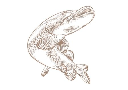 pike: Drawing of isolated swimming pike on the white background