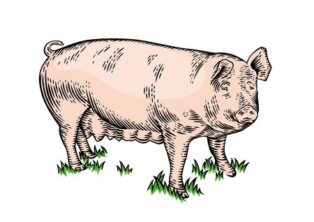 sow: Drawing of the pig on the green grass