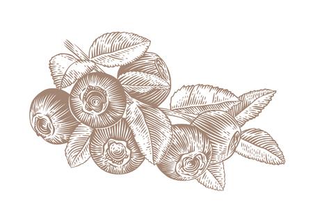 Zeichnung der Zweig der Blaubeere mit Blättern und Beeren