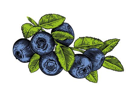 Dessin de la branche du bleuet avec des feuilles et des baies Vecteurs