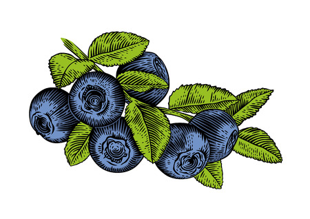 whortleberry: Drawing of branch of blueberry with leaves and berries Illustration