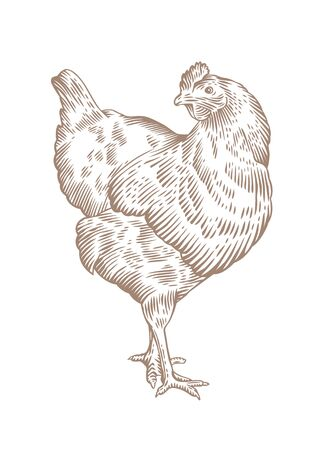 gravure: Drawing of standing brown chicken on the white background