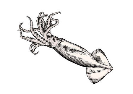 tentacles: Drawing of isolated raw squid with tentacles on the white background