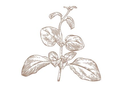 Drawing of fresh green branch of oregano on the white