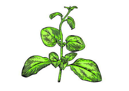 wild marjoram: Drawing of fresh green branch of oregano on the white