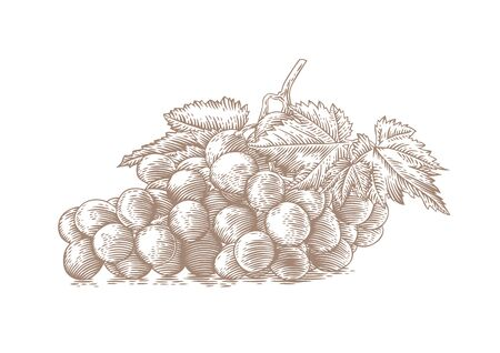 gravure: Drawing of bunch of white grapes with berries and green leaves