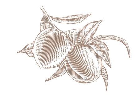 gravure: Drawing of peach branch with fruit and leaves