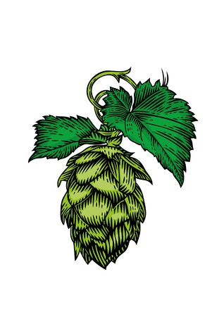 gravure: Drawing of fresh green cone and leaves of hops on the white Illustration