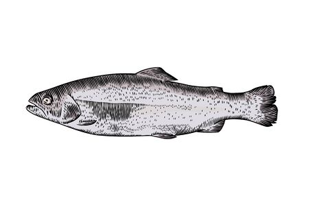 gravure: Drawing of isolated raw trout on the white background