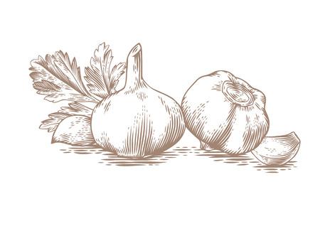 garlic clove: Drawing of two gralics head, two garlics cloves and fresh green parsley