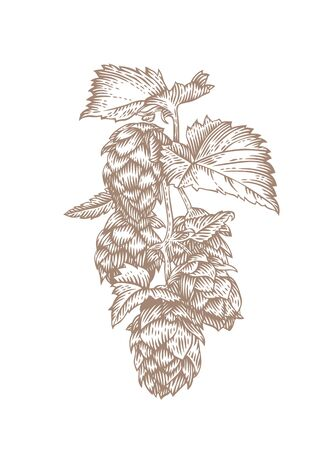 gravure: Drawing of fresh green branch of hops on the white