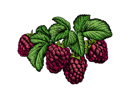 rasberry: Drawing of fresh branch of rasberry with leaves and berries