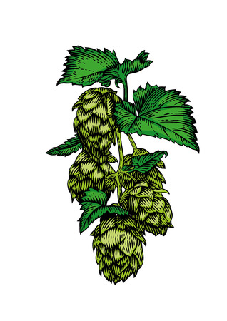 Drawing of fresh green branch of hops on the white