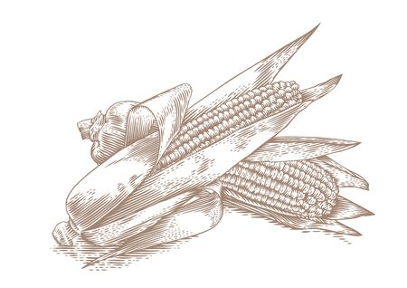 gravure: Drawing of two fresh corn cobs with leaves on the white background