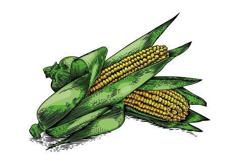 corncob: Drawing of two fresh corn cobs with leaves on the white background