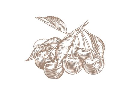 Drawing of cherry branch with berries and leaves