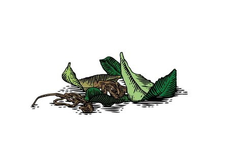 Drawing of handful of fresh and dried leaves of tea
