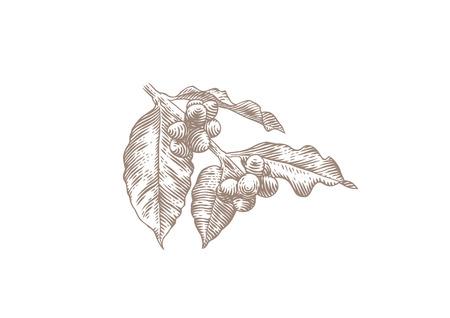 Zeichnung von Kaffee Zweig mit Blättern und Bohnen Standard-Bild - 75903618